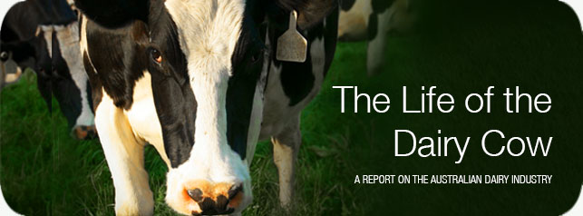 The Australian Dairy Industry: The Life of the Dairy Cow