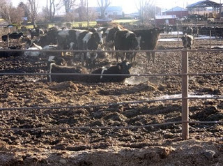 The Environmental Impact Of Animal Agriculture - Dust Surpression Feedlot Cows
